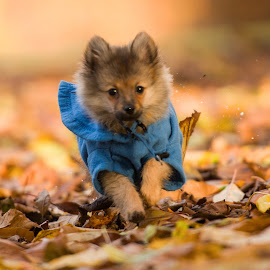 by Michael Sweeney - Animals - Dogs Running ( pomeranian )