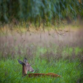 Deer Sleeping under Willow Tree by Chris Hurst - Animals Other Mammals ( whitetail deer, whitetail, white tail deer, doe. whitetail doe, deer )