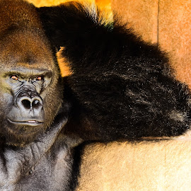 The Thinker by Edward Nelson - Animals Other Mammals ( new orleans, zoo, audubon zoo, gorilla, primates,  )