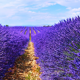 Mesmerizing Lavender by Shayantani Chaudhuri - Landscapes Travel ( lavender, flower, fields, purple flower, lavande  purple field )