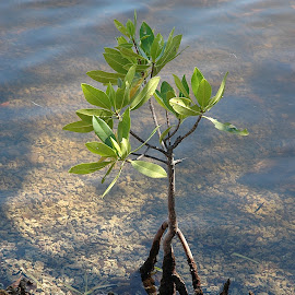 Lone Mangrove Tree by Mary Gemignani - Nature Up Close Trees & Bushes (  )