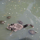 Black swan &turtles