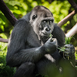 Lunch by KIRAZ DOWNEY - Animals Other Mammals ( animals, nature, green, apes, gorilla )
