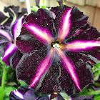 'Pinstripe' Petunia