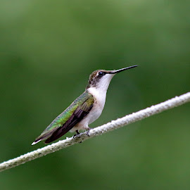 Female Ruby Throated Hummingbird by Liv Hooker - Animals Birds ( female, hummingbird, clothesline, ruby-throated hummingbird )