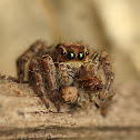 Jumping Spider (Female)
