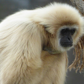 sad monkey by Nita Andrews - Animals Other ( nature, rope, zoo, outdoors, brown, monkey, animal )