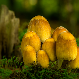 Upcoming fungis by Peter Samuelsson - Nature Up Close Mushrooms & Fungi