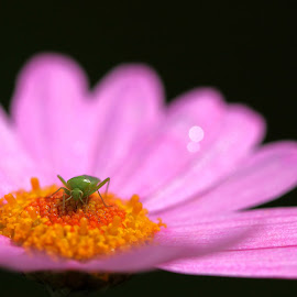 Aphid on pink flower by Carl Foster - Nature Up Close Gardens & Produce ( tiny, yellow stamen, flora, petals, beauty, close up, shallow depth of field, black background, pink flower, aphid insect, macro, nature, focus, flowers )