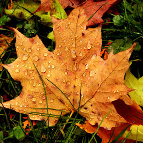 Golden Leaf   by Darcie Wright - Nature Up Close Leaves & Grasses ( fall leaves on ground, fall leaves, leaf gold golden  autumn fall season rain raindrops nature )