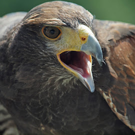 The stress of his regard by Christine Schmidt - Animals Birds ( birds of prey, up close, zoo, birds )