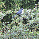 Mulato Pechiblanco, Blue and white Mockingbird