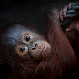 Little Pongo by Michael Milfeit - Animals Other Mammals ( orang utan, jungtier, affe, menschenaffe, pongo, primat )