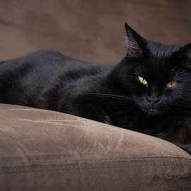 Black by Juho Mäkinen - Animals - Cats Portraits ( cat, d3100, nikon, portrait, black )