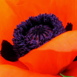 Spring Beauty by Donna Wood - Novices Only Macro ( orange, petals, poppy, beauty, spring, flower, colorful, mood factory, vibrant, happiness, January, moods, emotions, inspiration )