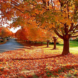 The beauty of fall. by Peter DiMarco - City,  Street & Park  Street Scenes ( fall leaves, fall colors, leaves of fall, orange leaves, trees in fall )