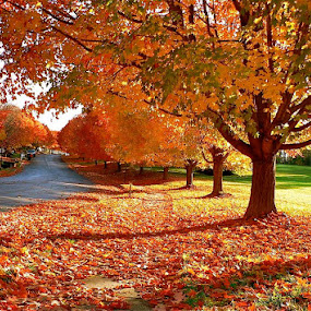 The beauty of fall. by Peter DiMarco - City,  Street & Park  Street Scenes ( fall leaves, fall colors, leaves of fall, orange leaves, trees in fall,  )