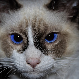 Sophie by Danielle Benbeneck - Animals - Cats Kittens ( kitten, cat, blue, siameese, eyes )
