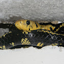Toche - Tiger Rat Snake - Tropical Rat Snake