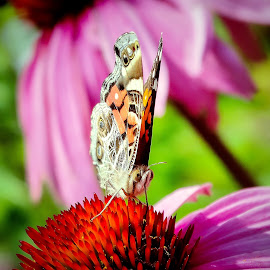 Sweet spot by Sue Delia - Animals Insects & Spiders ( butterfly, sweet spot, sip, flowers,  )