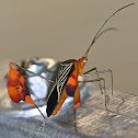 Banner or leaf footed bug