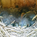 Eastern bluebird (box #6, brood 1)