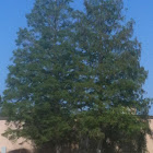 Blackjack Pine Tree