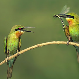 Blue-tailed bee-eaters by Prasanna Bhat - Animals Birds ( animals, nature, feeding, blue-tailed, wildlife, birds, bee-eater )