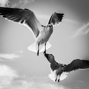 Seagull by Debra Martins - Black & White Animals ( animals, nature, wildlife, seagulls, birds )