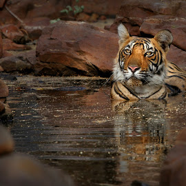 Sultan of the Jungle by Buddhilini de Soyza - Animals Lions, Tigers & Big Cats ( big cat, ranthambore, sultan, tiger, india )