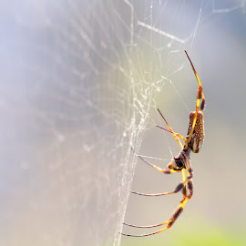 by Gary Lopez - Nature Up Close Webs ( web spider orbweaver )