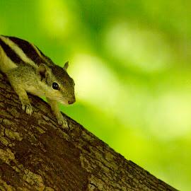 Green Squirrel by Monish Kumar - Animals Other (  )