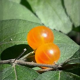 Two Orange Berries by Don Teachout - Nature Up Close Gardens & Produce ( orange, two, bright, sunlight, berries )
