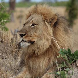 Majestic King. by Heather Steyn - Novices Only Wildlife ( zimbabwe, lion, hwange )