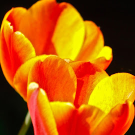Tulips by Daniel Dowell - Nature Up Close Gardens & Produce
