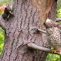 Red-shouldered Hawk and Western Gray Squirrel