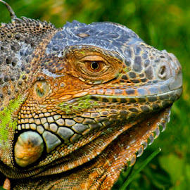 by Cathy Karlson - Animals Reptiles (  )