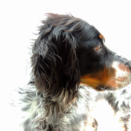 Radar by Sydney Badeau - Animals - Dogs Portraits ( snow, white, setter, brown, dog, black )