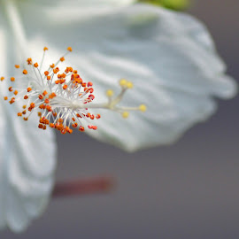 Hibiscus Pistils by Alice Chia - Nature Up Close Gardens & Produce (  )