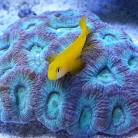 Yellow goby lying on favia coral by Phil Bulpin - Animals Fish