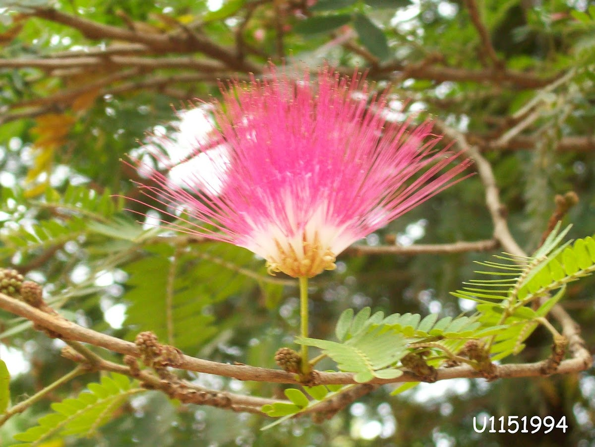 Persian silk tree