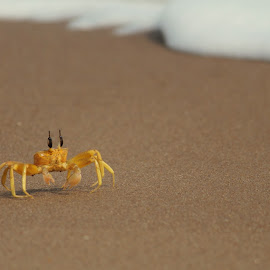 Crab by Shamba Mukherjee - Novices Only Wildlife ( arthropod, sea, beach, insect, lonely, crab )