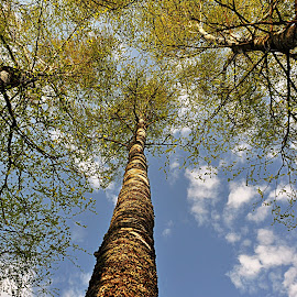 Birch by Eugenija Seinauskiene - Nature Up Close Trees & Bushes (  )