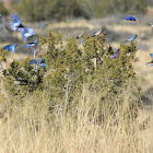 Mountain bluebirds and Western bluebirds