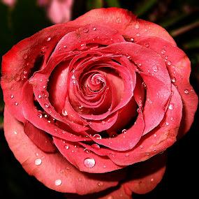 Rose by Ad Spruijt - Flowers Single Flower