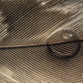 Feather vs drop by Hasnain Rizvi - Abstract Macro ( drop, feathers, feather )
