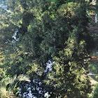 Macadamia tree