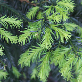 Larch by Bozica Trnka - Nature Up Close Trees & Bushes ( tree, nature, outgrowth, larch )