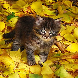 Fluffy kitten by Maja  Marjanovic - Animals - Cats Kittens ( pat, kitten, cat, fluffy, animal )
