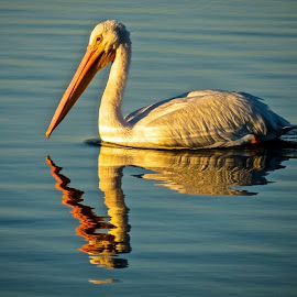 The white pelicans are back!! I went to the marina to try to get a sunrise/moon set picture and saw two of these beautiful birds. Although the moon was a disappointment, the pelicans made up for it!  by Yvonne Turner - Animals Birds